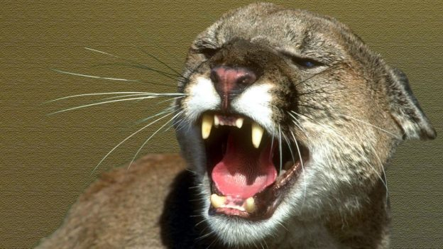 Mountain Lions Cannot Have a Little Human Flesh as a Treat