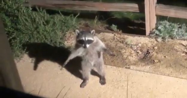 Like a Scene From a Cartoon: Guy Posts a Video Of Two Raccoons Getting Busted After Trying To Sneak Around